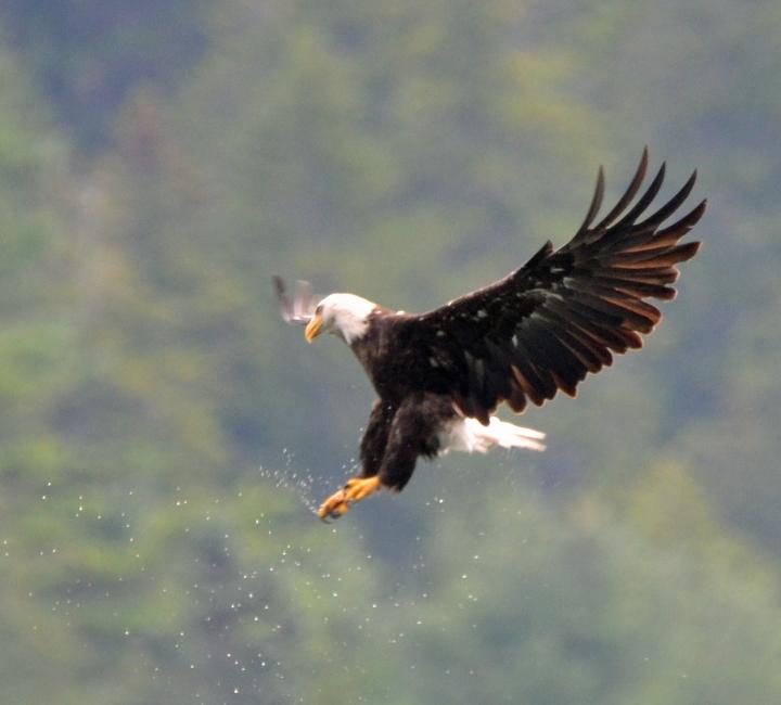 DSC_0085 Bald Eagle (Haliaeetus leucocephalus) Acadia NP--Valley Cove Trail August 1 2016 MJGood